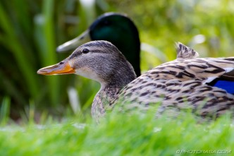 two ducks at pond