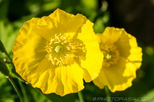 two giant buttercups
