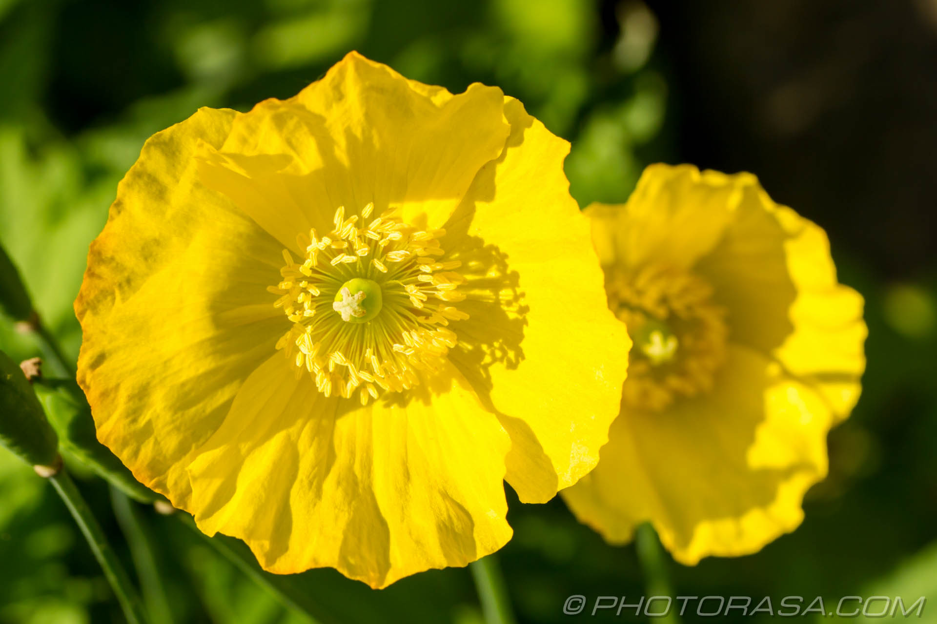 http://photorasa.com/buttercups/two-giant-buttercups/