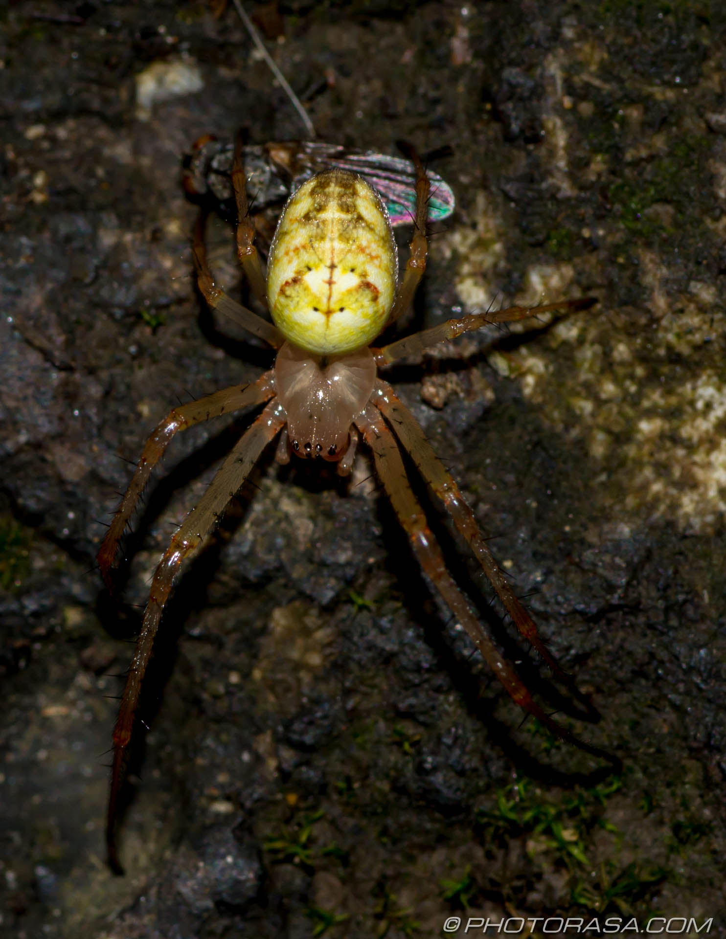 http://photorasa.com/common-orb-weaver-spiders/uk-orb-spider/