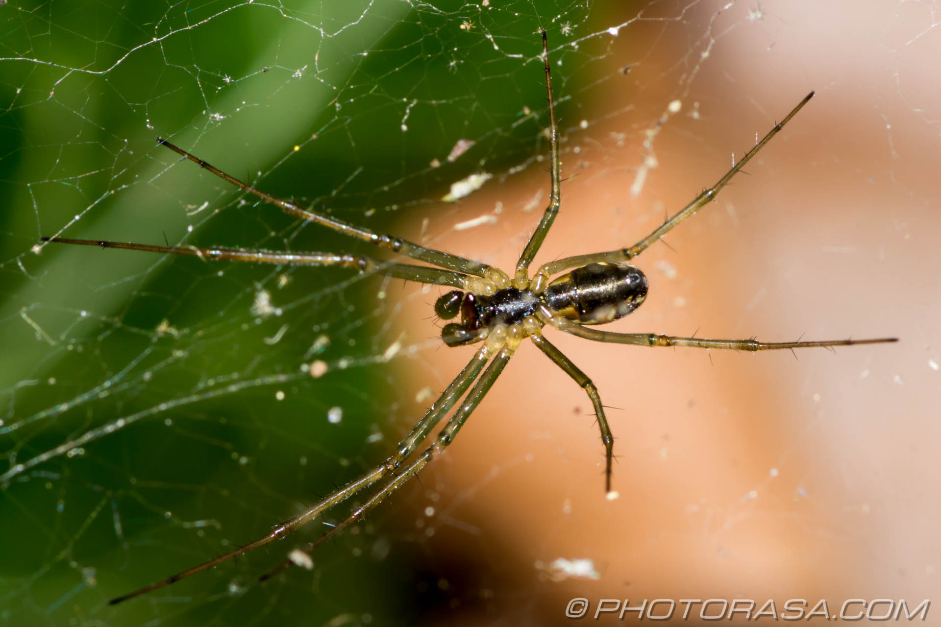 http://photorasa.com/common-orb-weaver-spiders/underside-of-little-spider-in-web/