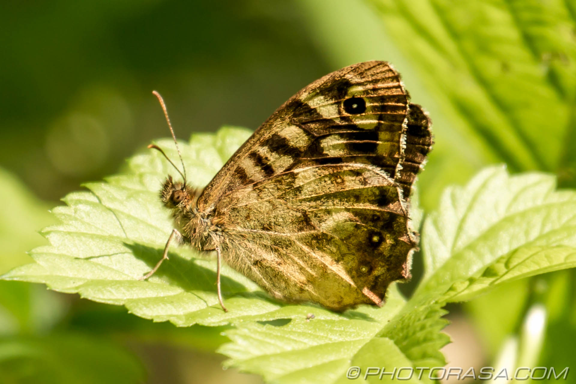 http://photorasa.com/speckled-wood-butterfly/underside/