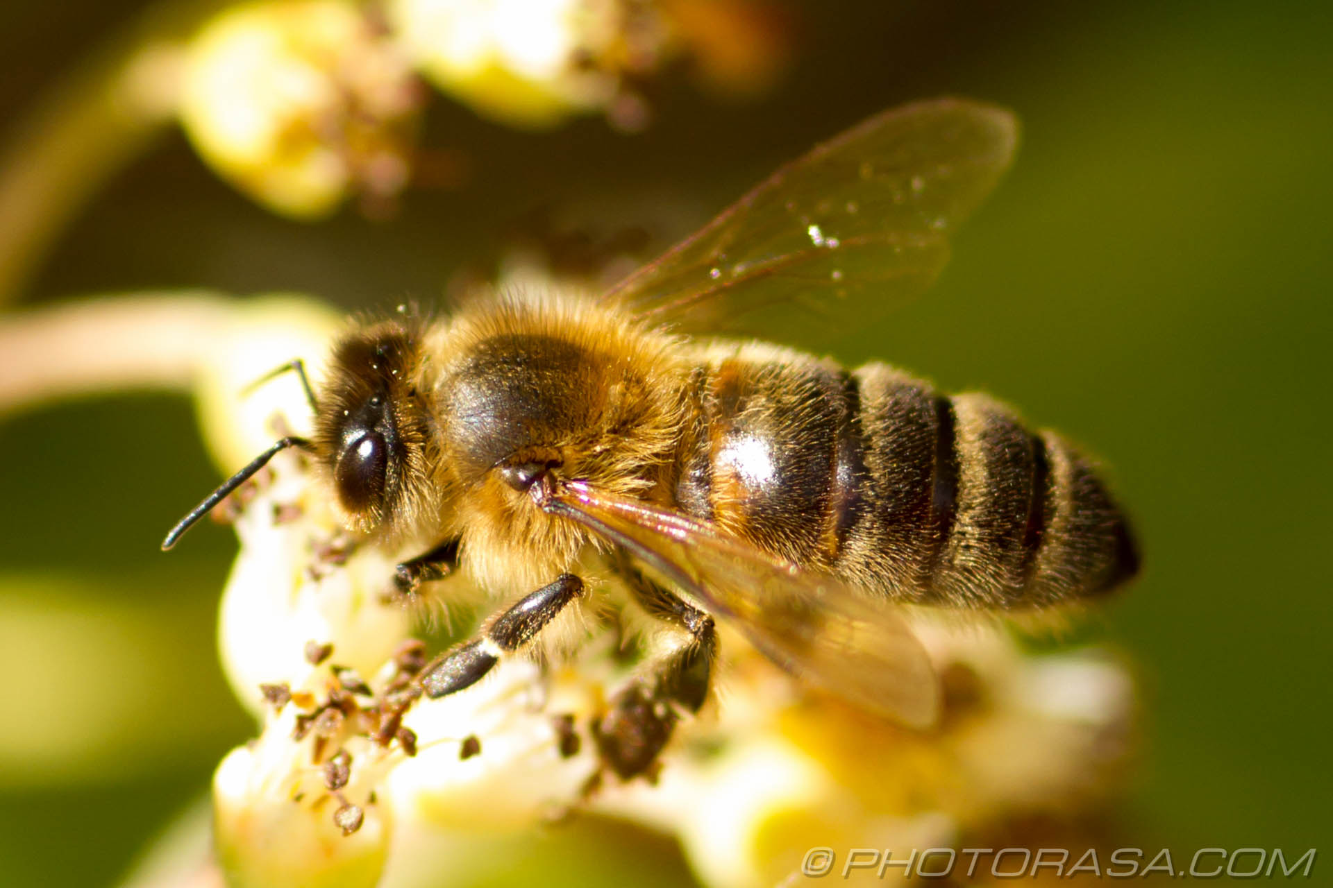 http://photorasa.com/honey-bees/honey-bee/