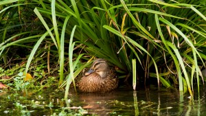 wild duck in the greenery