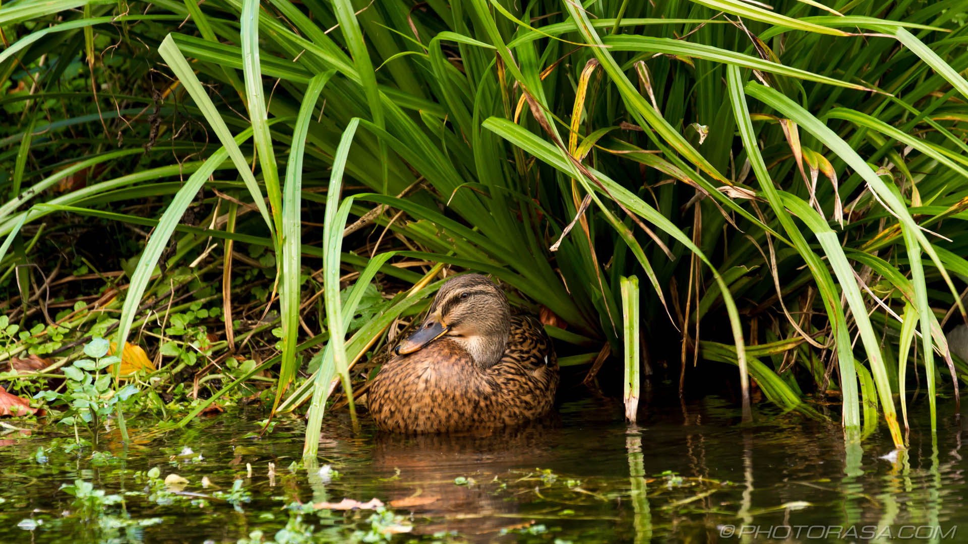 http://photorasa.com/mallard-ducks/wild-duck-in-the-greenery/