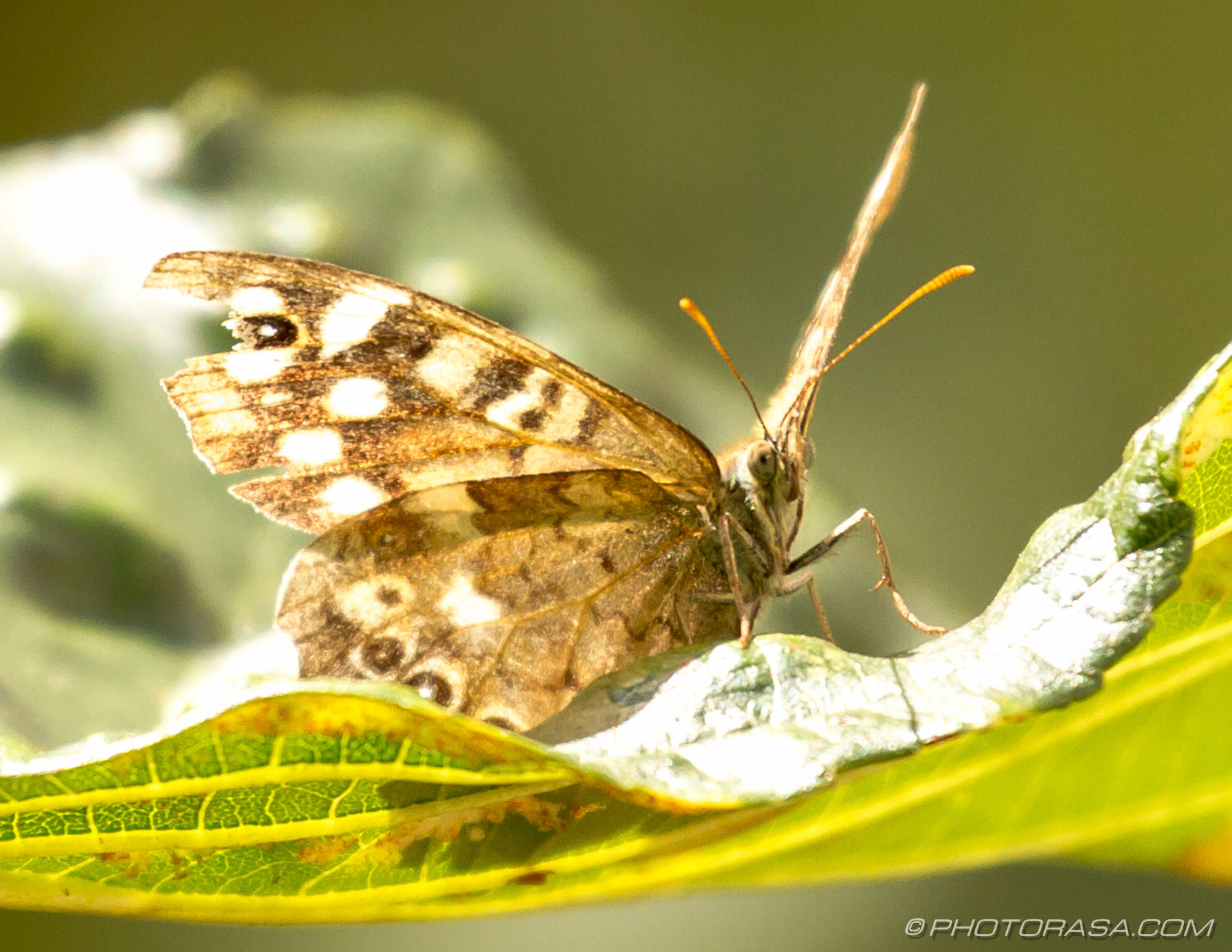 http://photorasa.com/speckled-wood-butterfly/with-damaged-wing/
