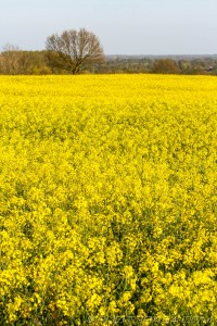 kentish yellow rapeseed flowers