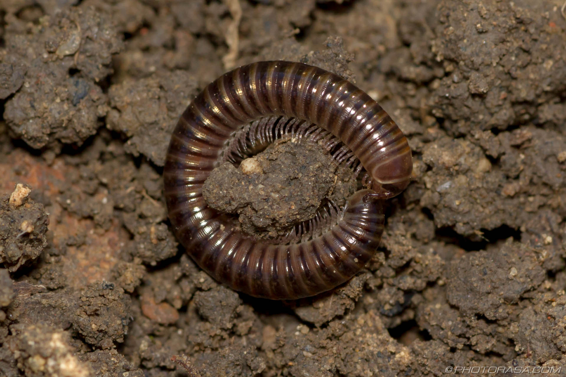 Millipede With Long Legs Long Brown Cyli...
