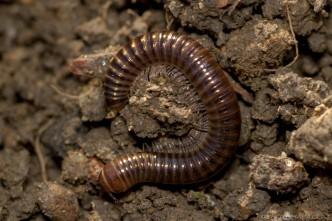 striped millipede