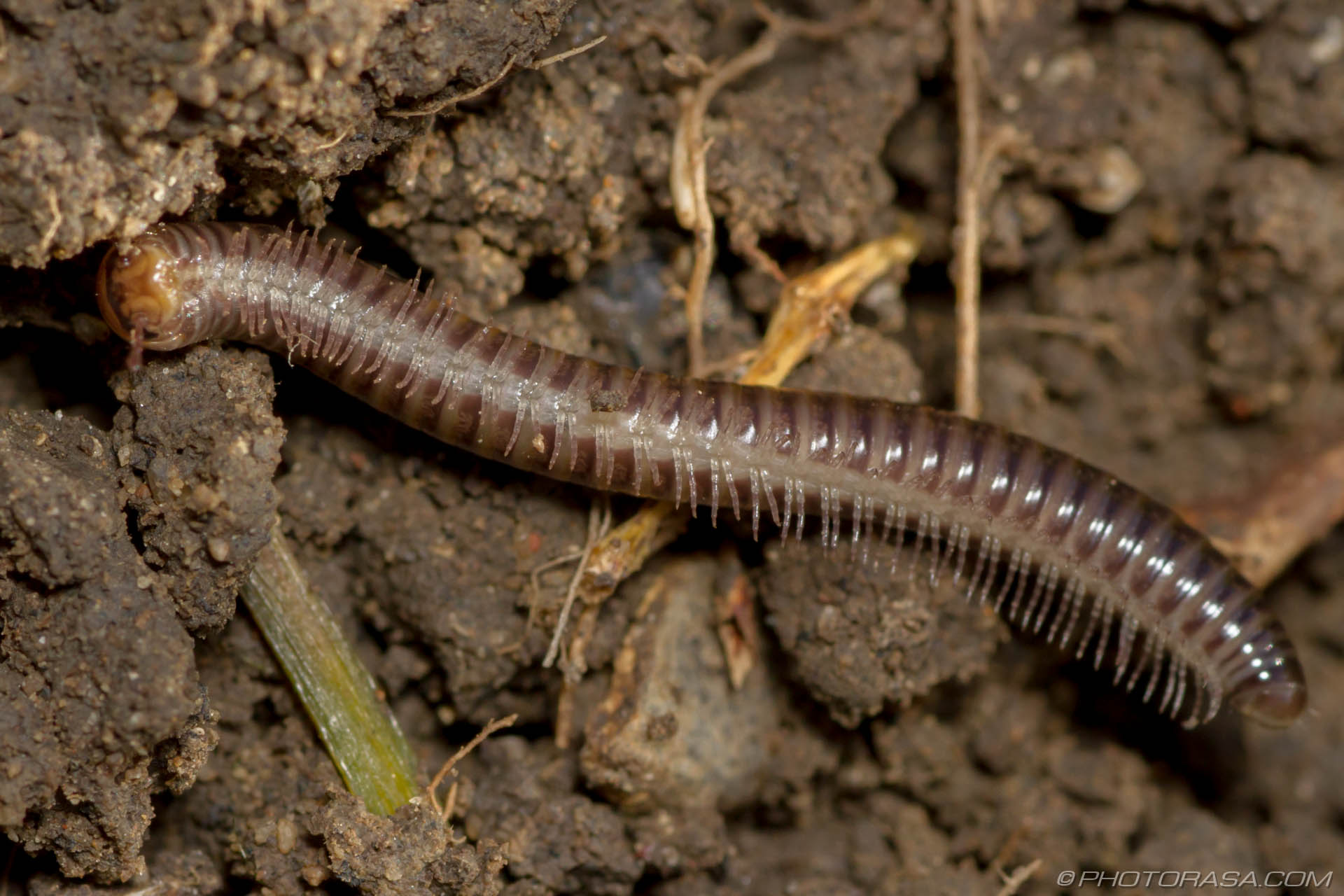 Millipede With Long Legs Long Brown Cylindroiul...