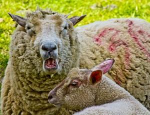 baaaing sheep and lamb
