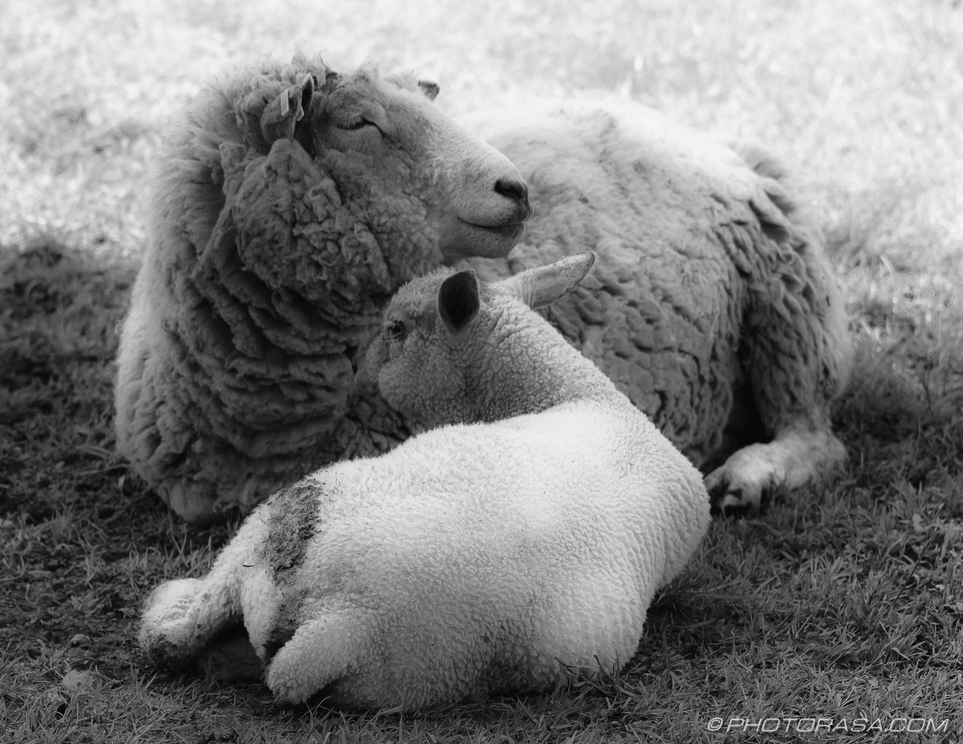 https://photorasa.com/sheep/lamb-and-mother-2/