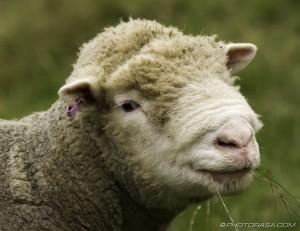 rambouillet ewe head close up