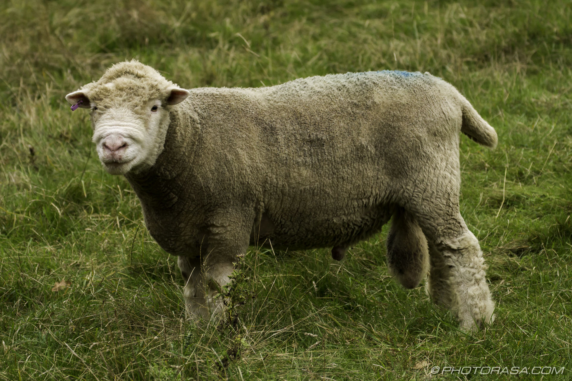 https://photorasa.com/sheep/rambouillet-ewe/