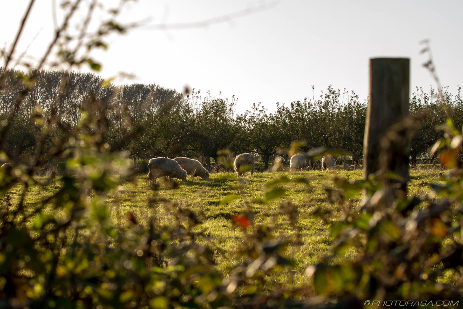 http://photorasa.com/sheep/sheep-in-a-field-through-a-fence/