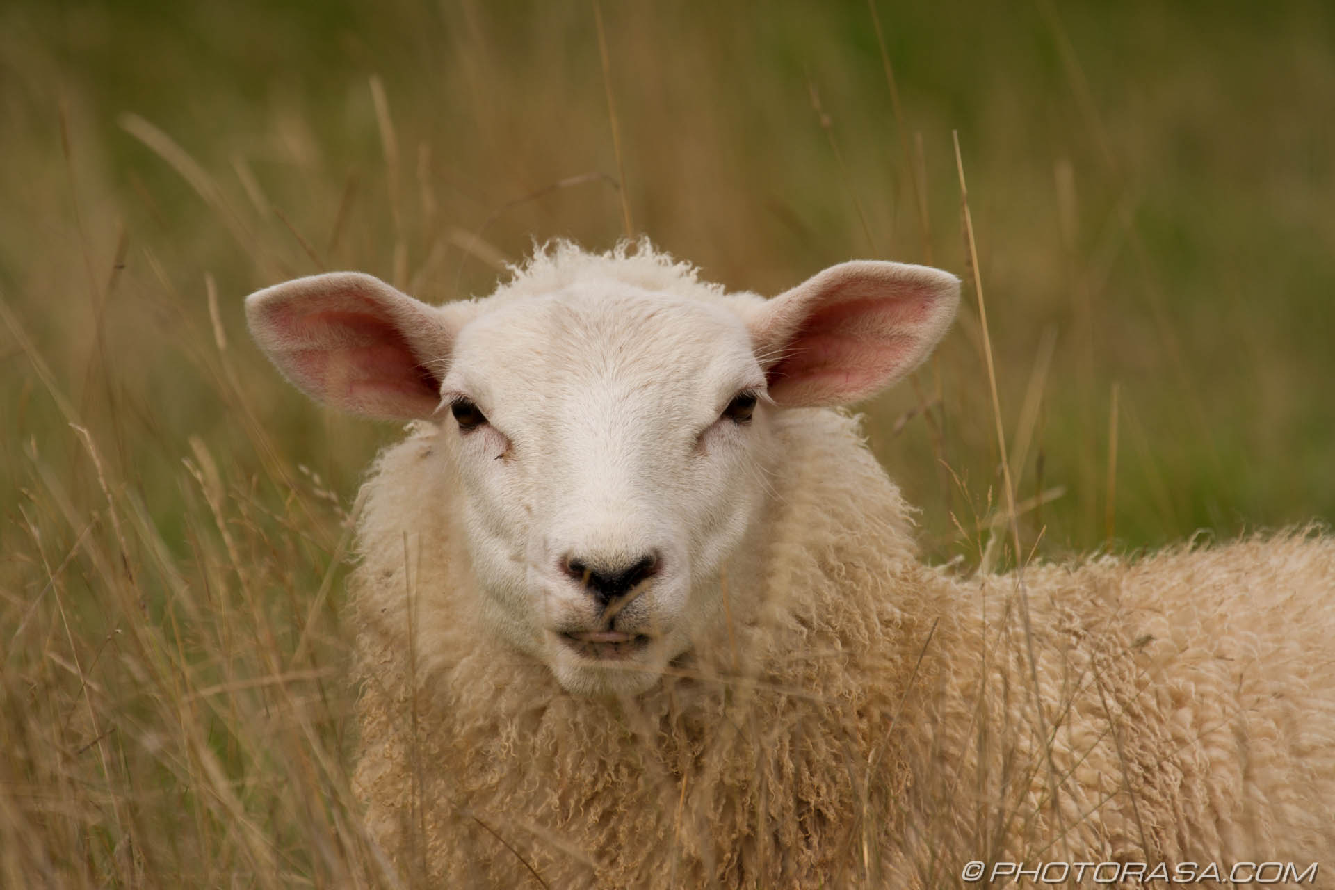 http://photorasa.com/sheep/sheep-in-the-long-grass/