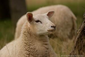 sheep looking across