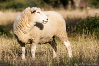 sheep turned to look