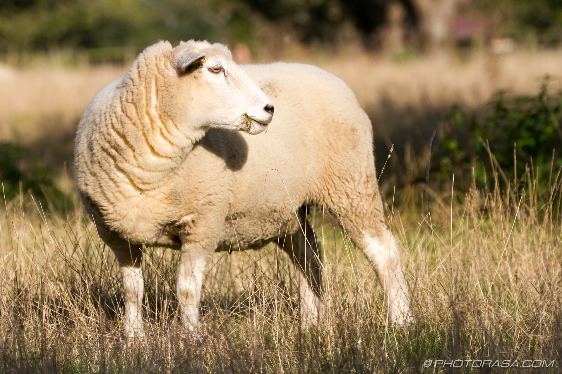http://photorasa.com/sheep/sheep-turned-to-look/