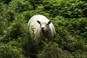 texel sheep in the undergrowth