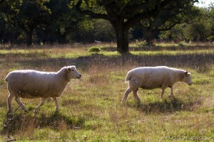 two romney sheep walking across field in sunlight