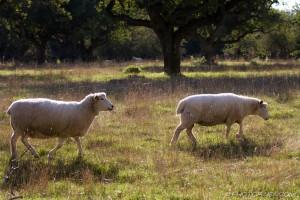 two romney sheep walking across field in sunlight