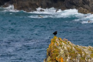 crow on a rocky outcrop on the cornwall coast