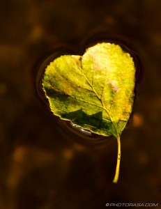 heart shaped leaf and stalk