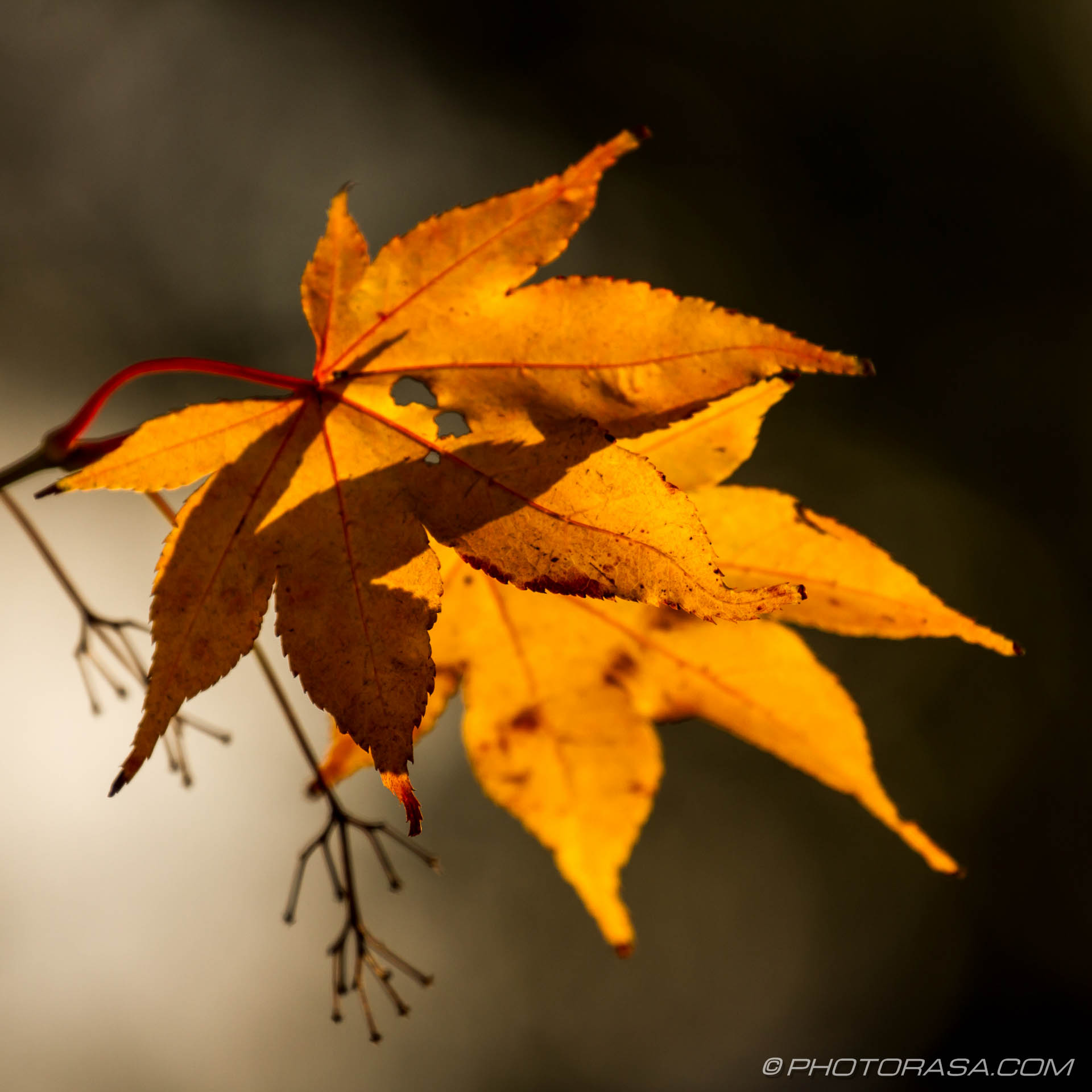 https://photorasa.com/leaves/orange-and-red-maple-leaves/
