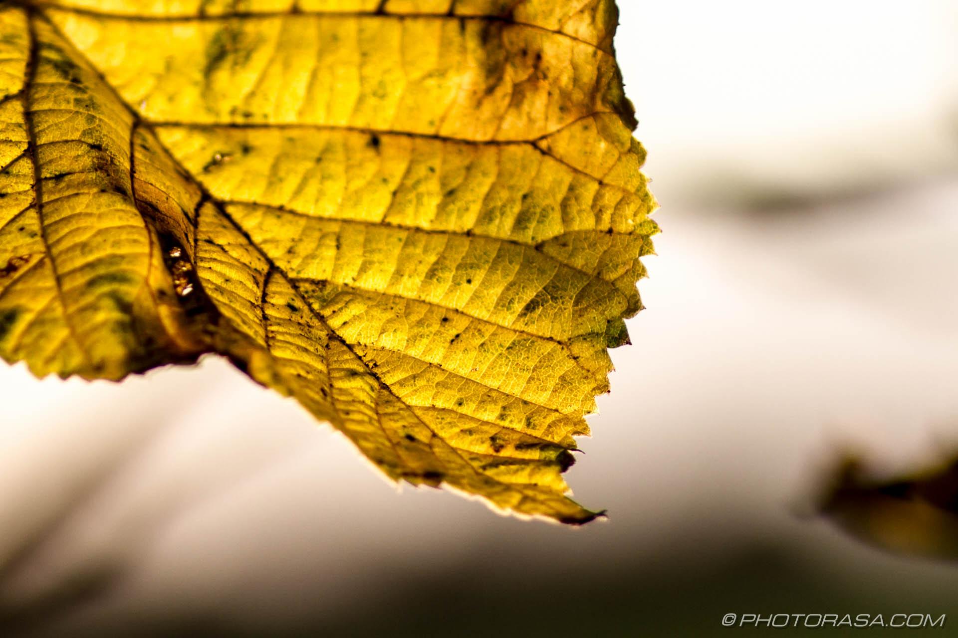 https://photorasa.com/leaves/yellow-autumn-leaf/