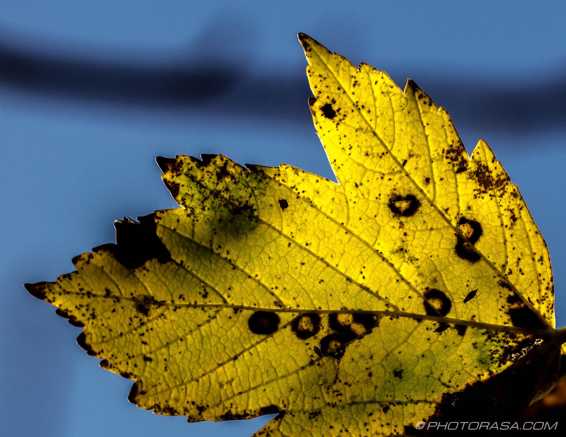https://photorasa.com/leaves/yellow-autumn-maple/