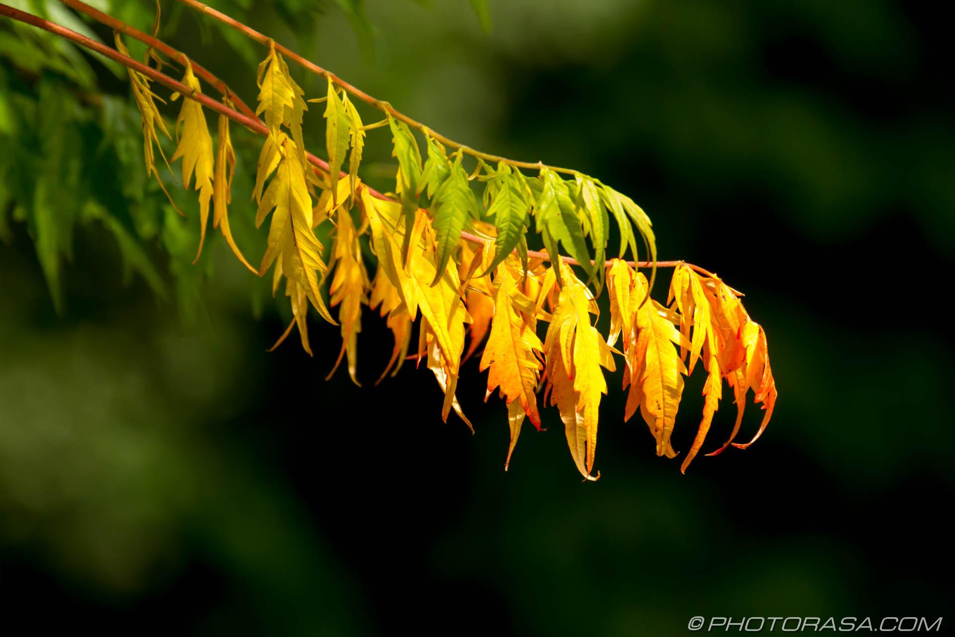 https://photorasa.com/leaves/yellow-leaves-in-low-sun/