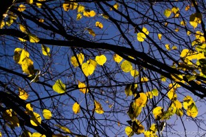 yellow leaves on the tree hit by sunlight