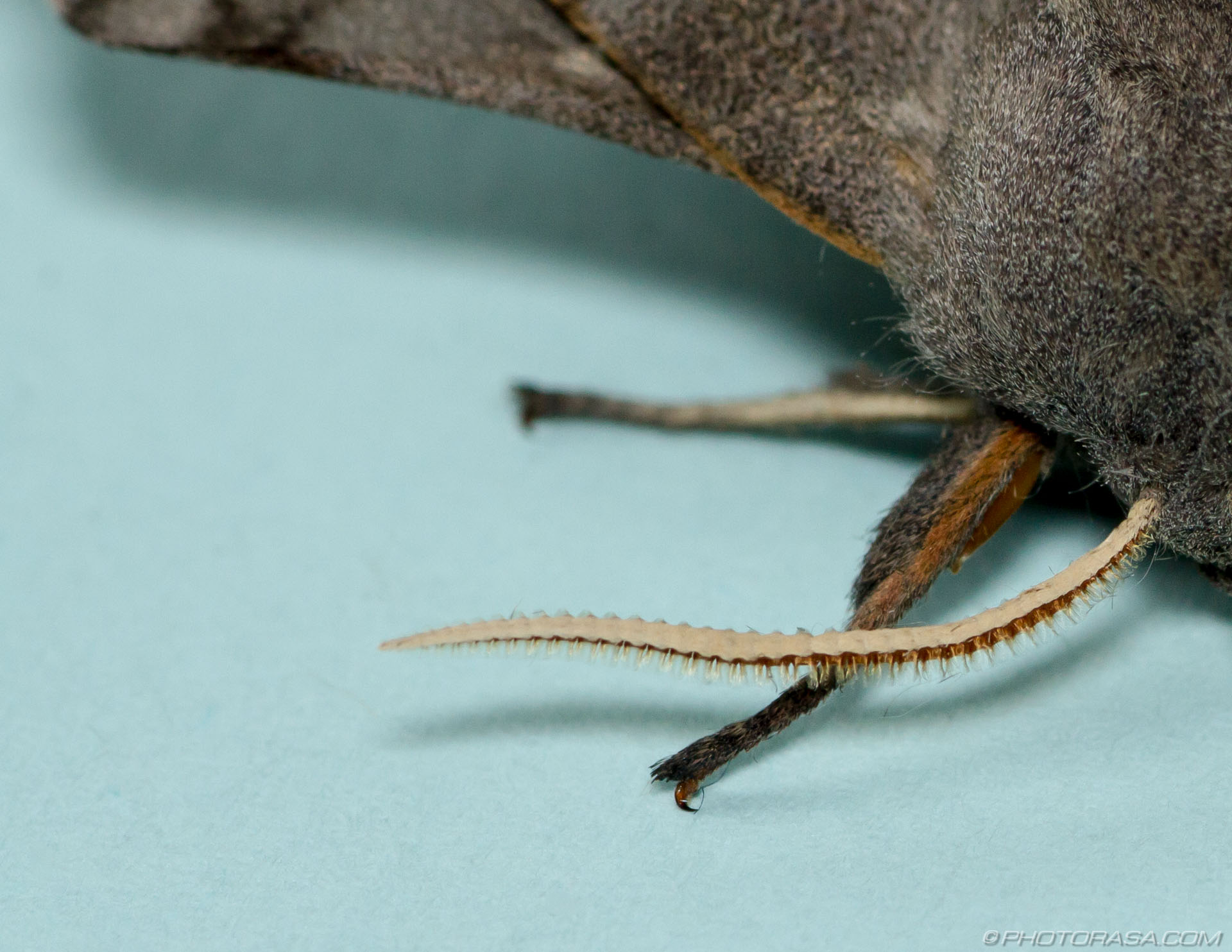 http://photorasa.com/poplar-hawk-moth/close-up-of-antenna/