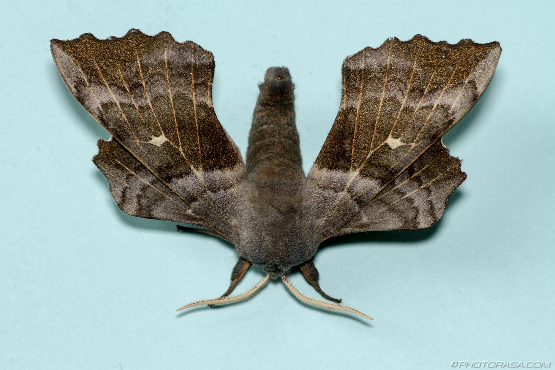 http://photorasa.com/poplar-hawk-moth/large-brown-moth-against-plain-background/