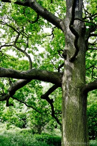 oak trunk and branches