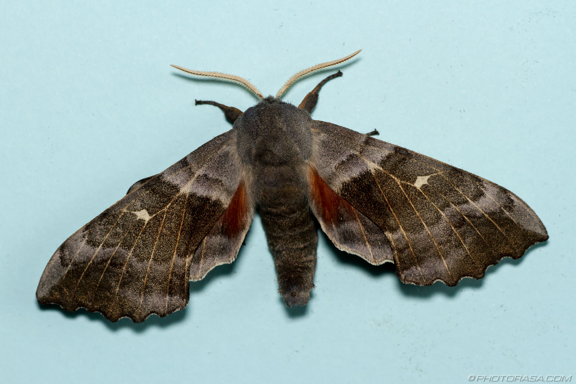 https://photorasa.com/poplar-hawk-moth/poplar-hawk-moth/