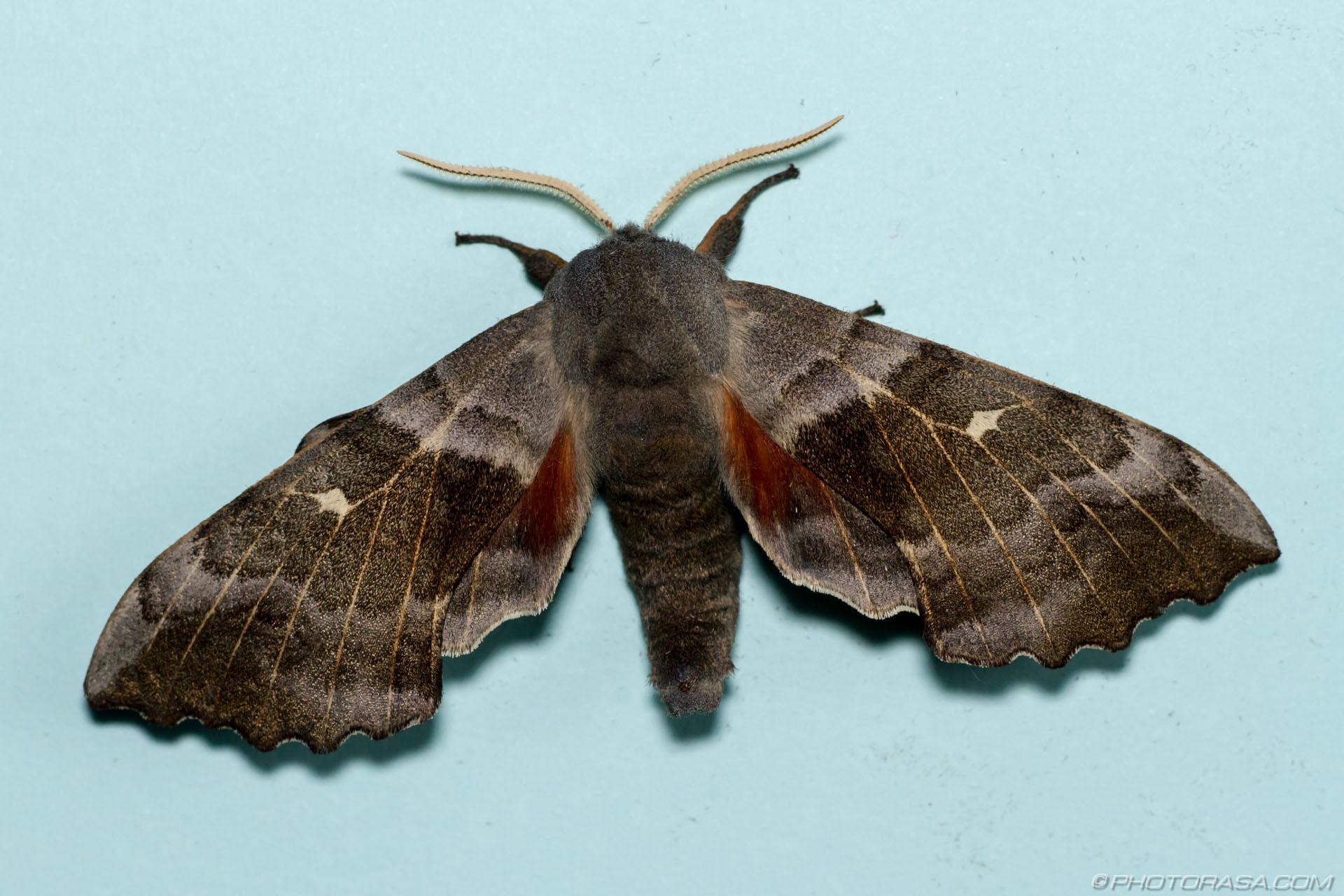 http://photorasa.com/poplar-hawk-moth/poplar-hawk-moth/