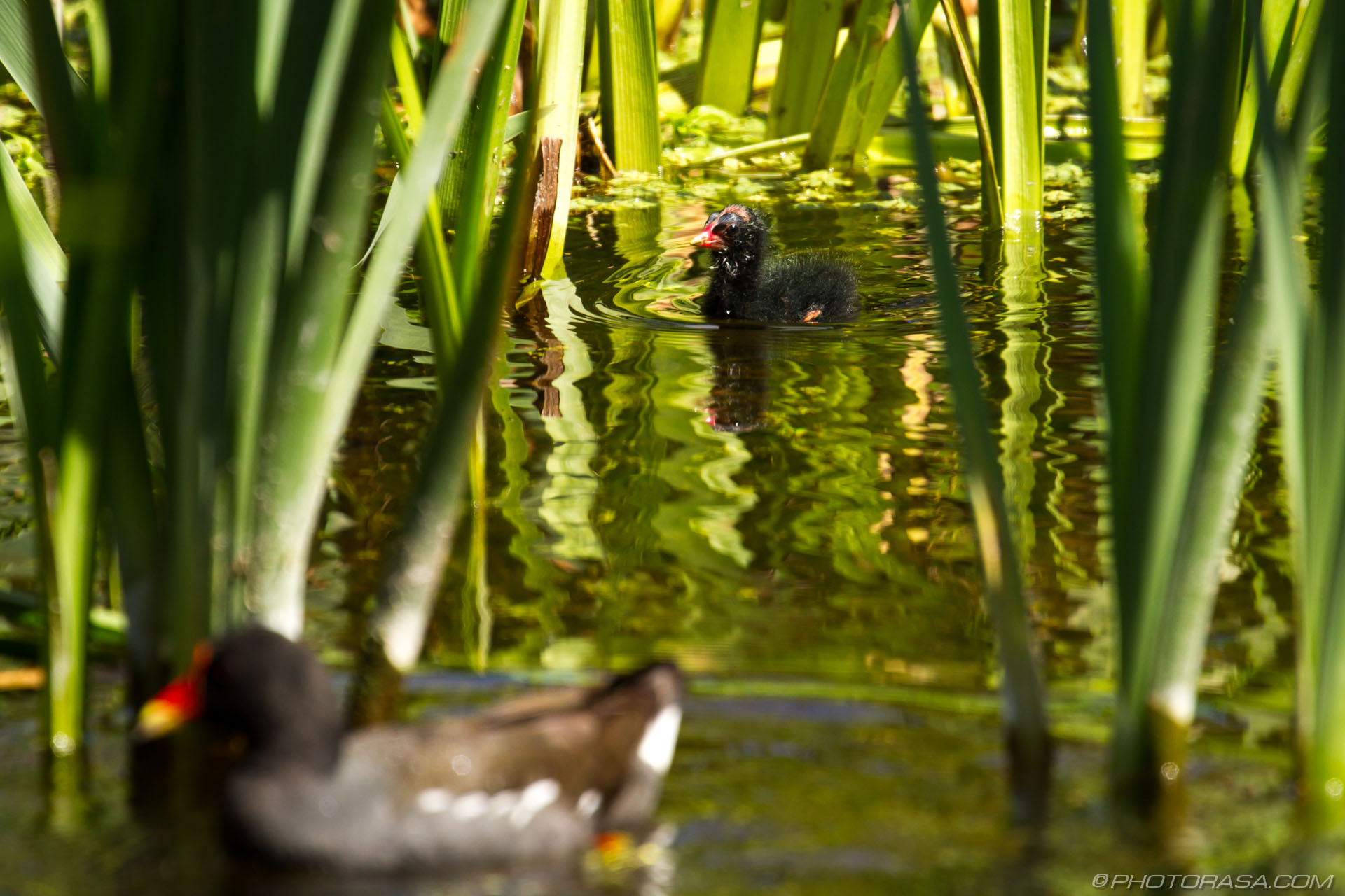 http://photorasa.com/baby-moorhen-and-mother/baby-left-by-his-mother/