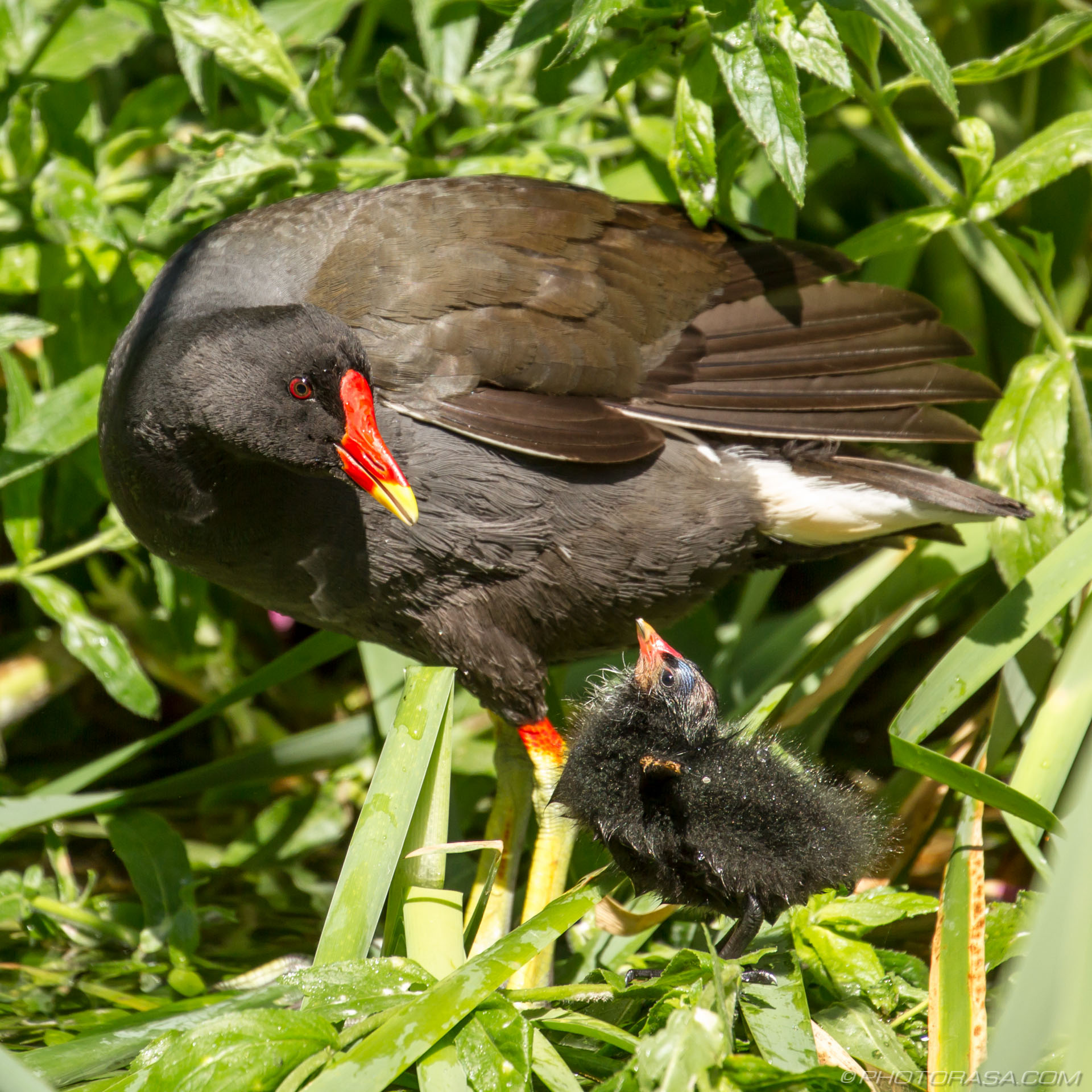 https://photorasa.com/baby-moorhen-and-mother/chick-calling-to-mother/