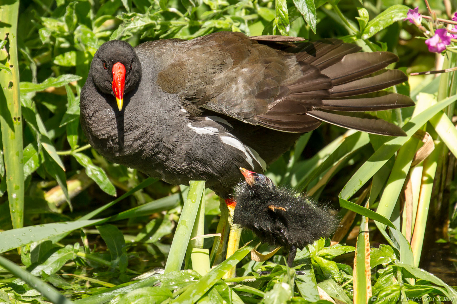 http://photorasa.com/baby-moorhen-and-mother/chick-staring-at-mother/