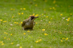female green woodpecker sitting and waiting