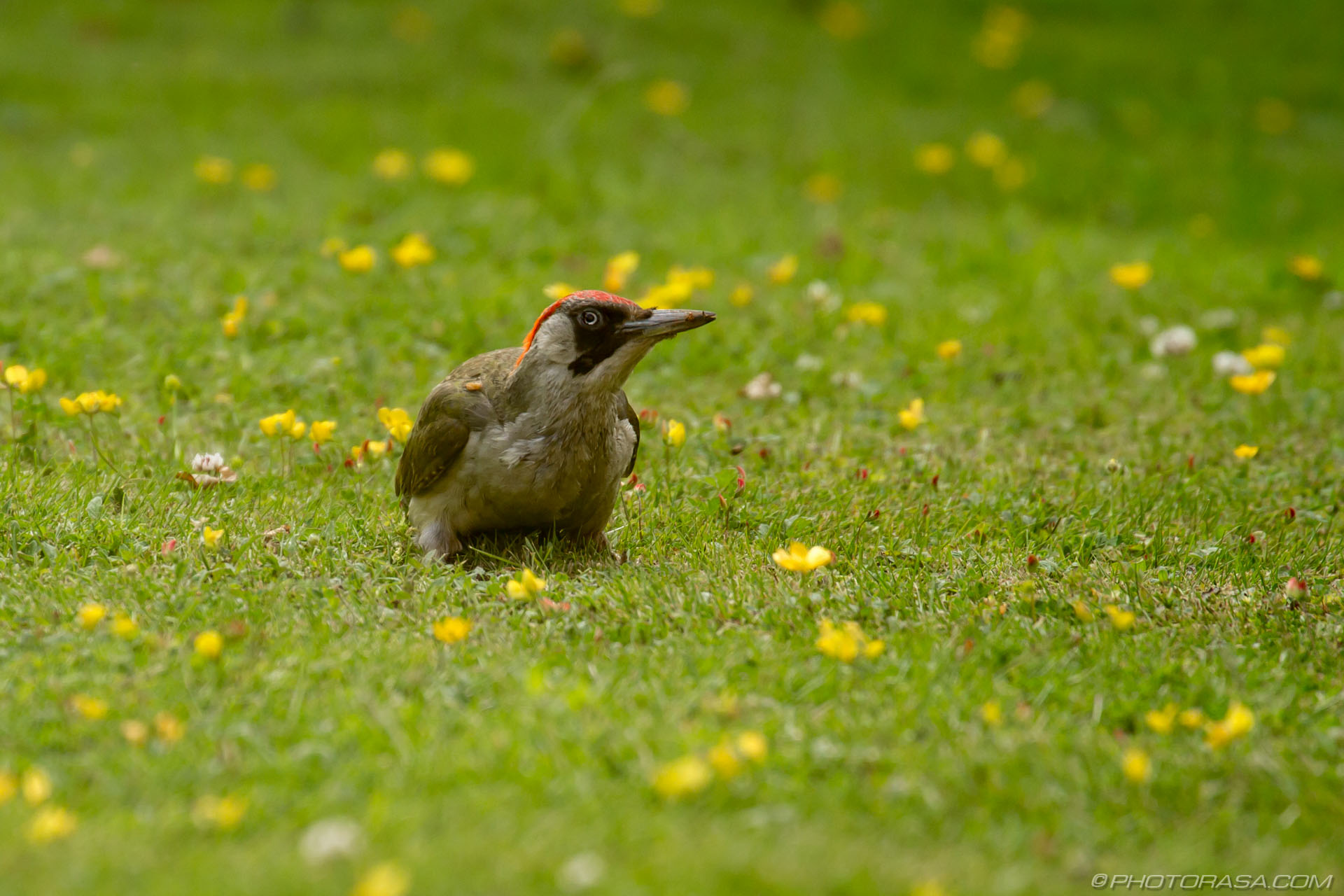 http://photorasa.com/green-woodpecker/female-green-woodpecker-sitting-and-waiting/