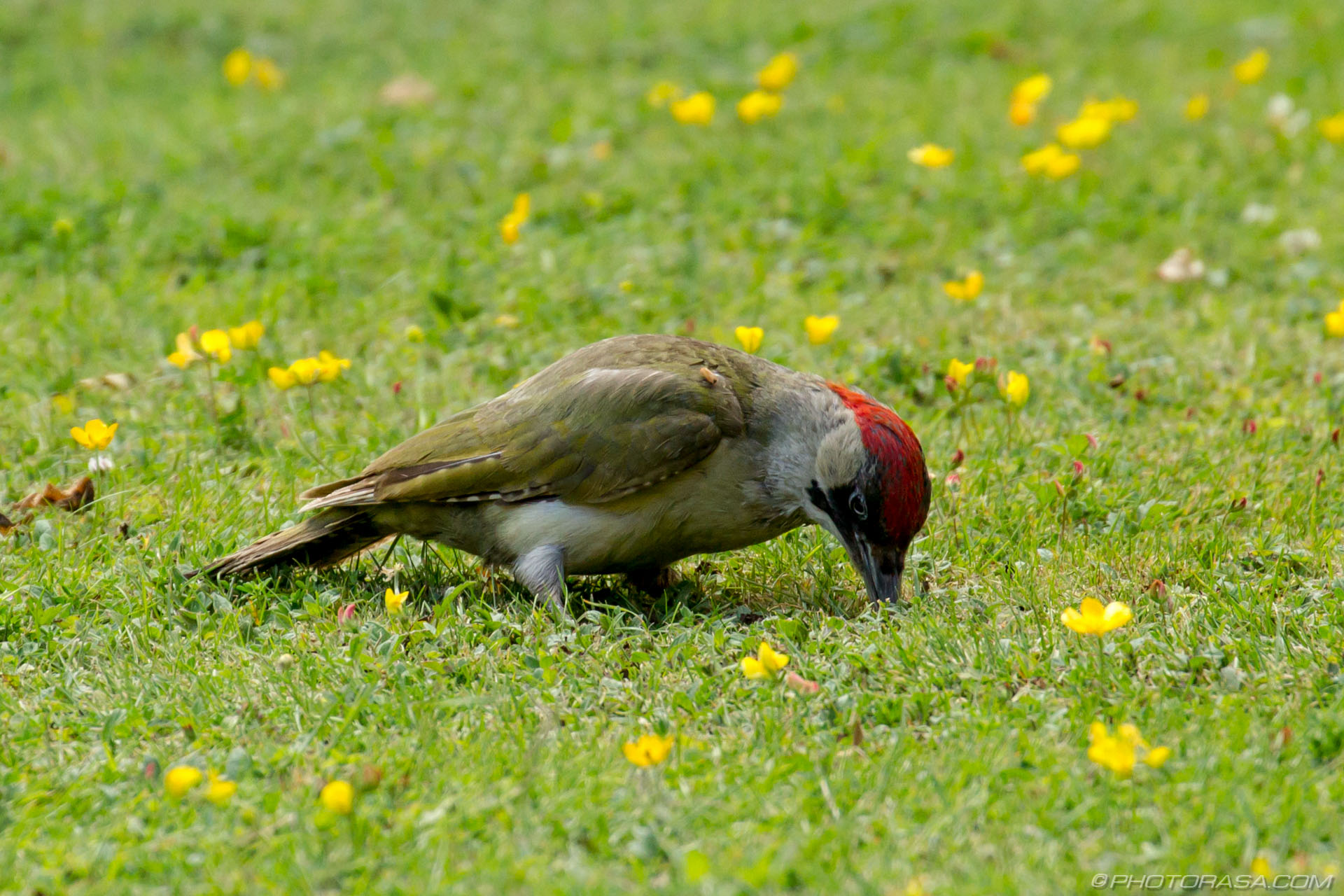 http://photorasa.com/green-woodpecker/poking-about-in-the-grass-for-food/