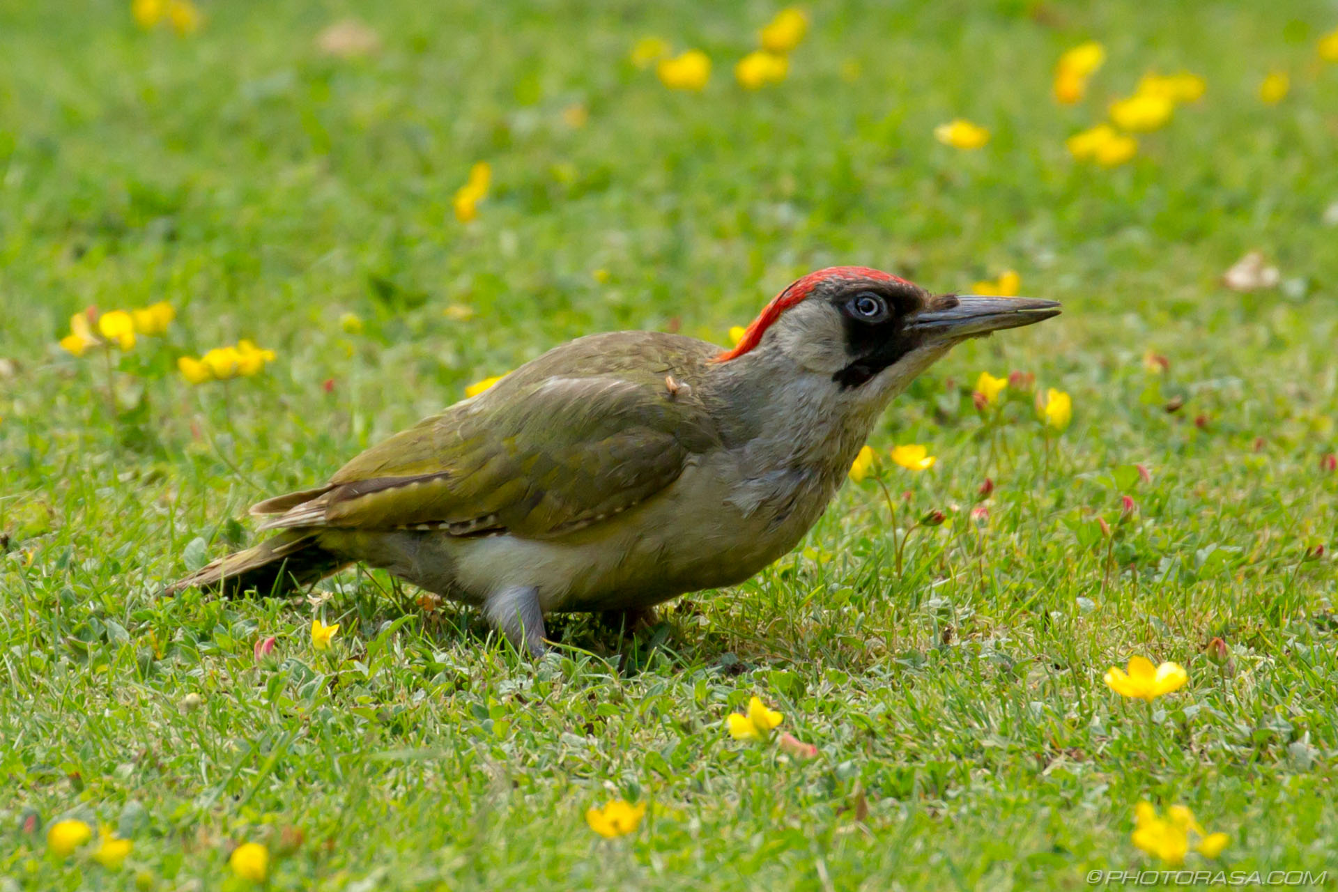 http://photorasa.com/green-woodpecker/looking-around-2/