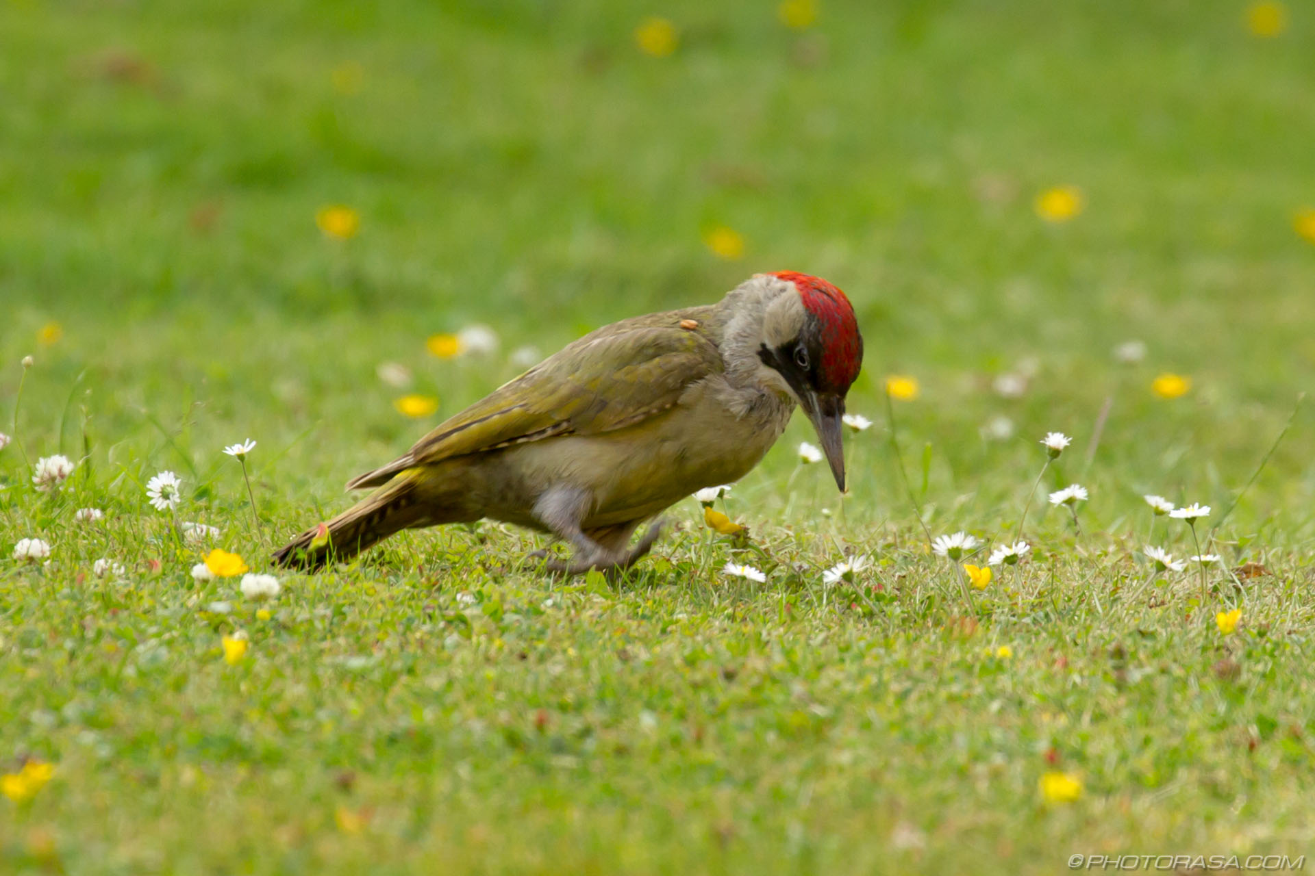 http://photorasa.com/green-woodpecker/looking-for-food/