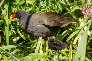 moorhen chick and mother in the foliage