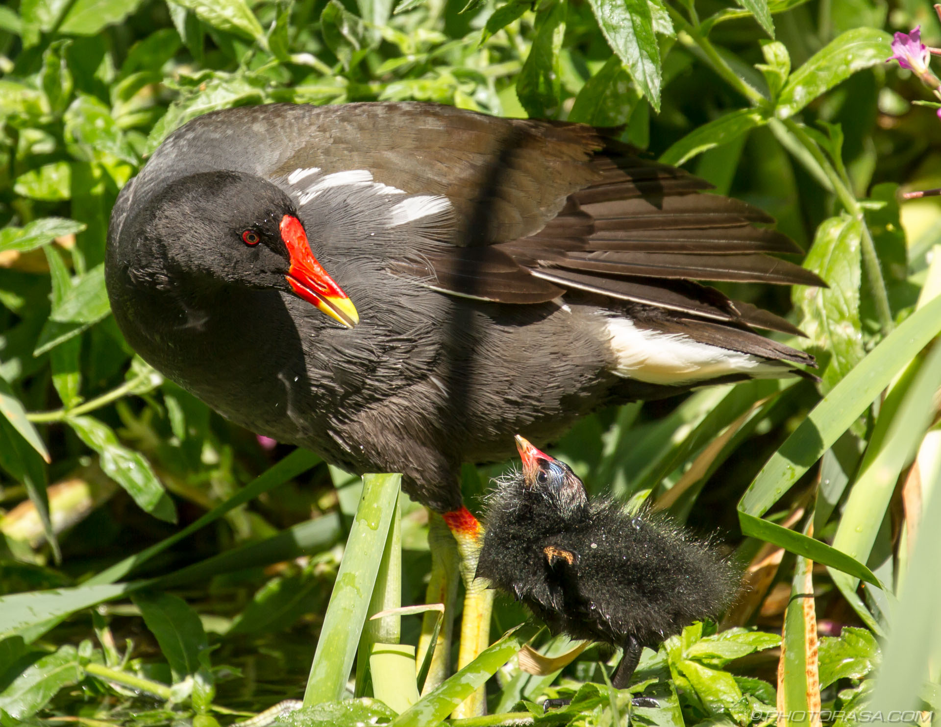 http://photorasa.com/baby-moorhen-and-mother/mother-and-baby-looking-at-each-other/