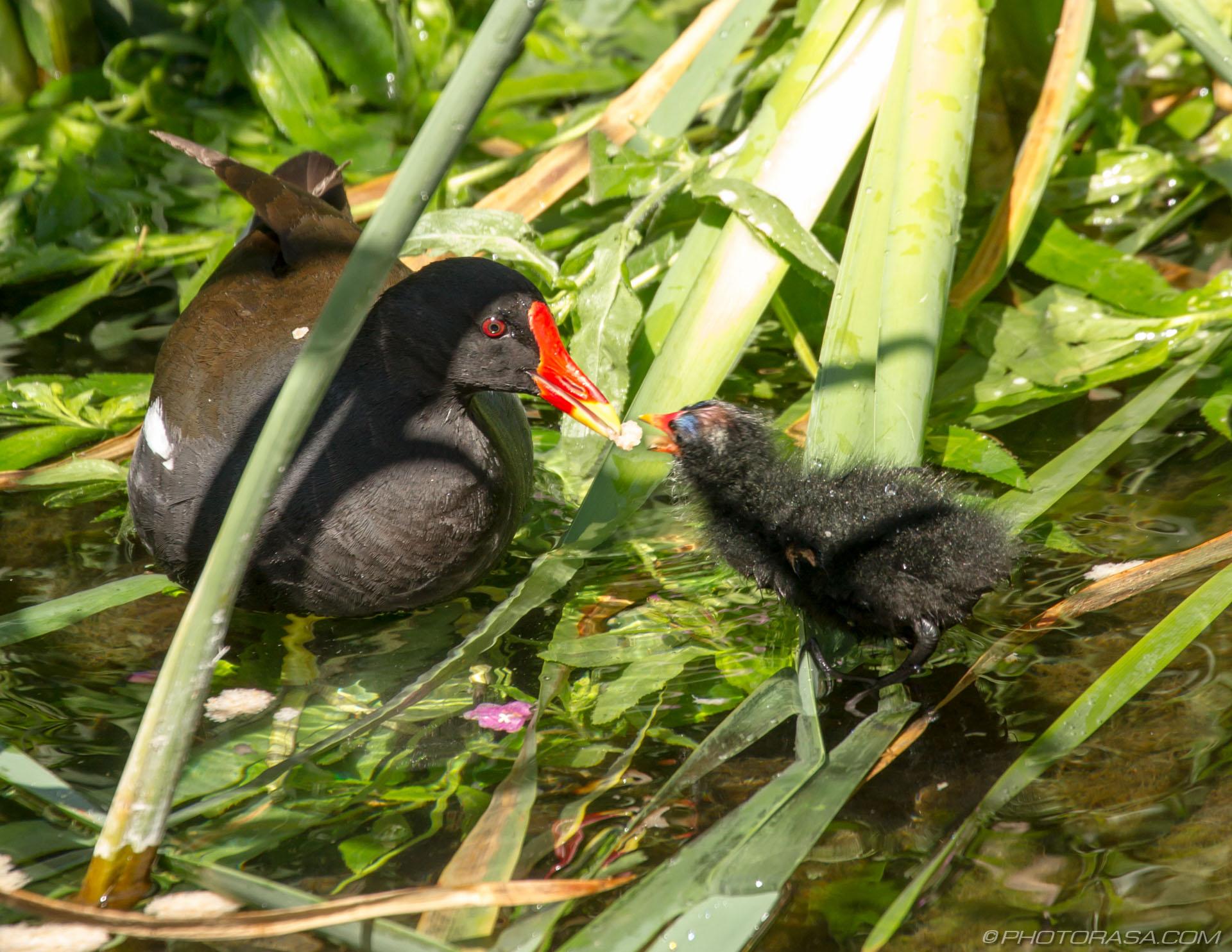 https://photorasa.com/baby-moorhen-and-mother/mother-and-chick-beak-to-beak/