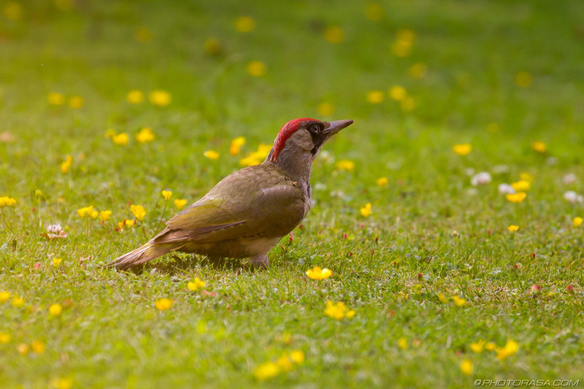 http://photorasa.com/green-woodpecker/woodpecker-among-the-buttercups/